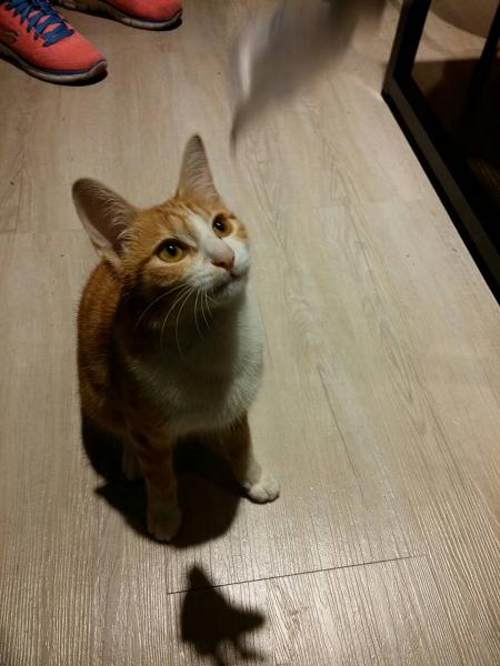 很可爱的小猫咪,非常好动也喜欢跟客人撒娇